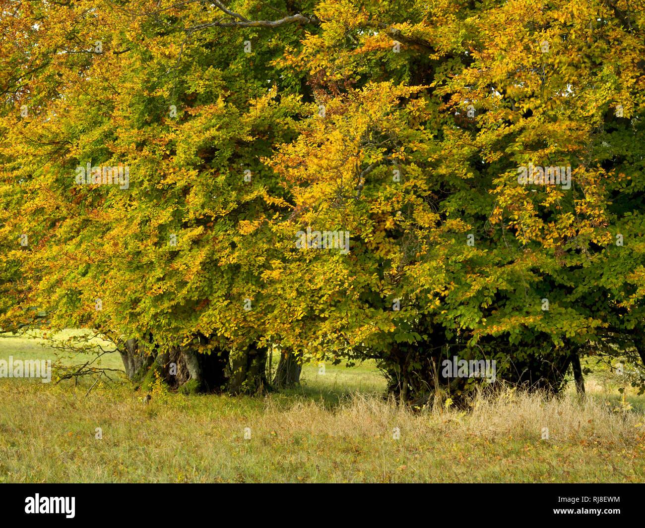 Deutschland, Bayern, Naturpark Bayrische Rhön, UNESCO-Biosphärenreservat, Naturschutzgebiet Lange Rhön, Hainbuchen im Herbstlaub Stock Photo