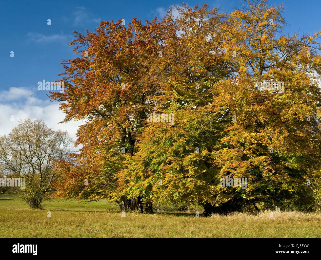 Deutschland, Bayern, Naturpark Bayrische Rhön, UNESCO-Biosphärenreservat, Naturschutzgebiet Lange Rhön, Buchen im Herbstlaub Stock Photo