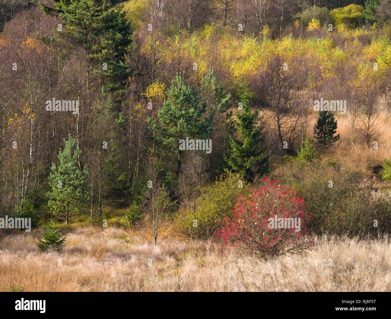 Deutschland, Bayern, Naturpark Bayrische Rhön, UNESCO-Biosphärenreservat, Naturschutzgebiet Schwarzes Moor, Moorgräser, Birken im Herbstlaub, Vogelbee Stock Photo