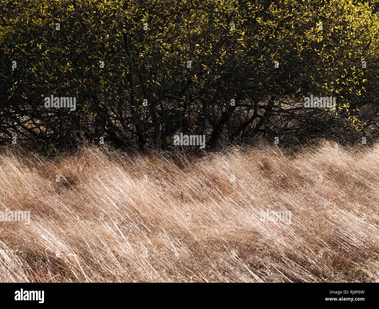 Deutschland, Bayern, Naturpark Bayrische Rhön, UNESCO-Biosphärenreservat, Naturschutzgebiet Schwarzes Moor, windgeformte Moorgräser, Salweiden Stock Photo