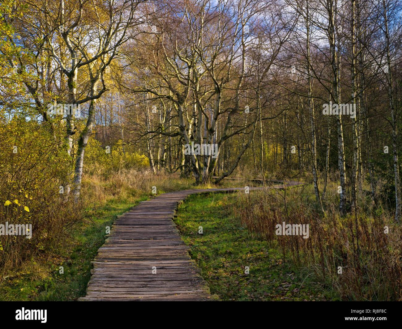 Deutschland, Bayern, Naturpark Bayrische Rhön, UNESCO-Biosphärenreservat, Naturschutzgebiet Schwarzes Moor, herbstbunte Birken und Holzbohlensteg Stock Photo