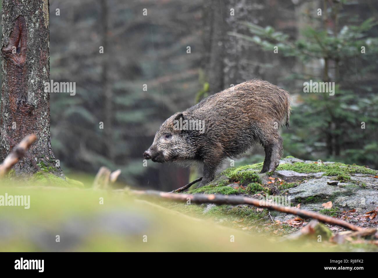 Wildschwein - Stock Image