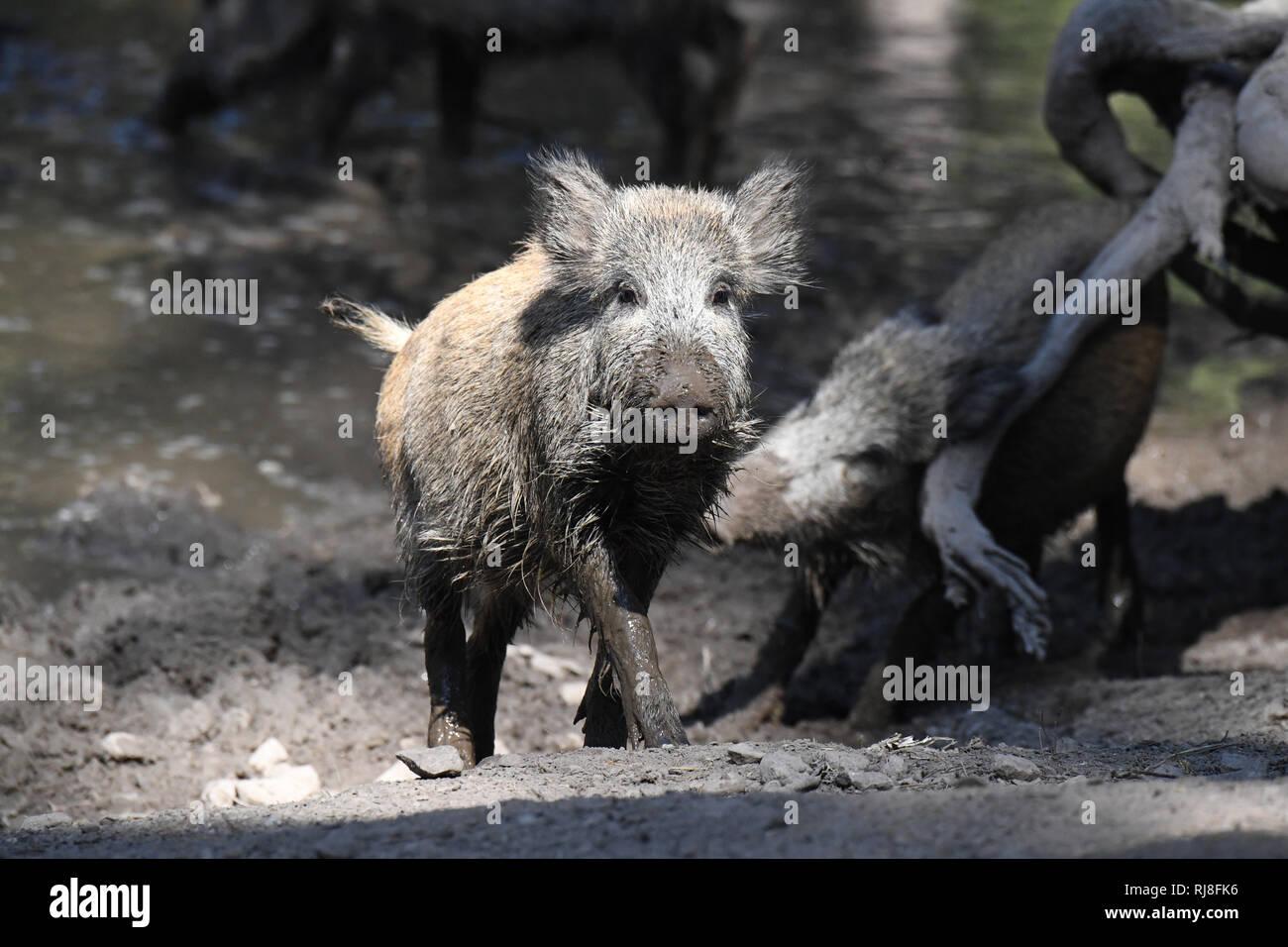 Wildschweine Suhle - Stock Image