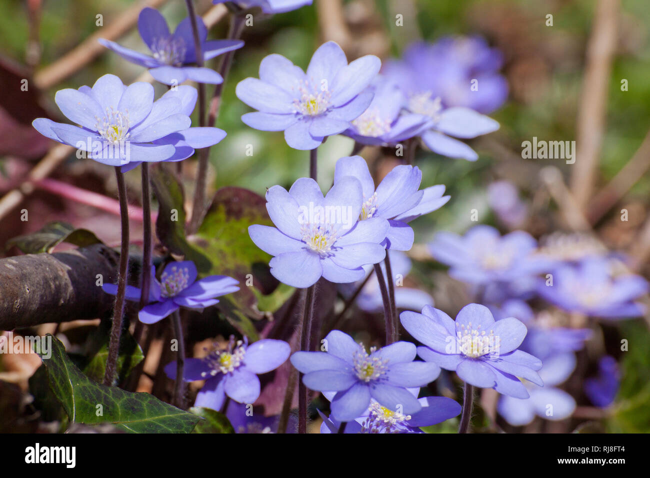 Blühende Leberblümchen im Frühling, Hapatica nobilis - Stock Image