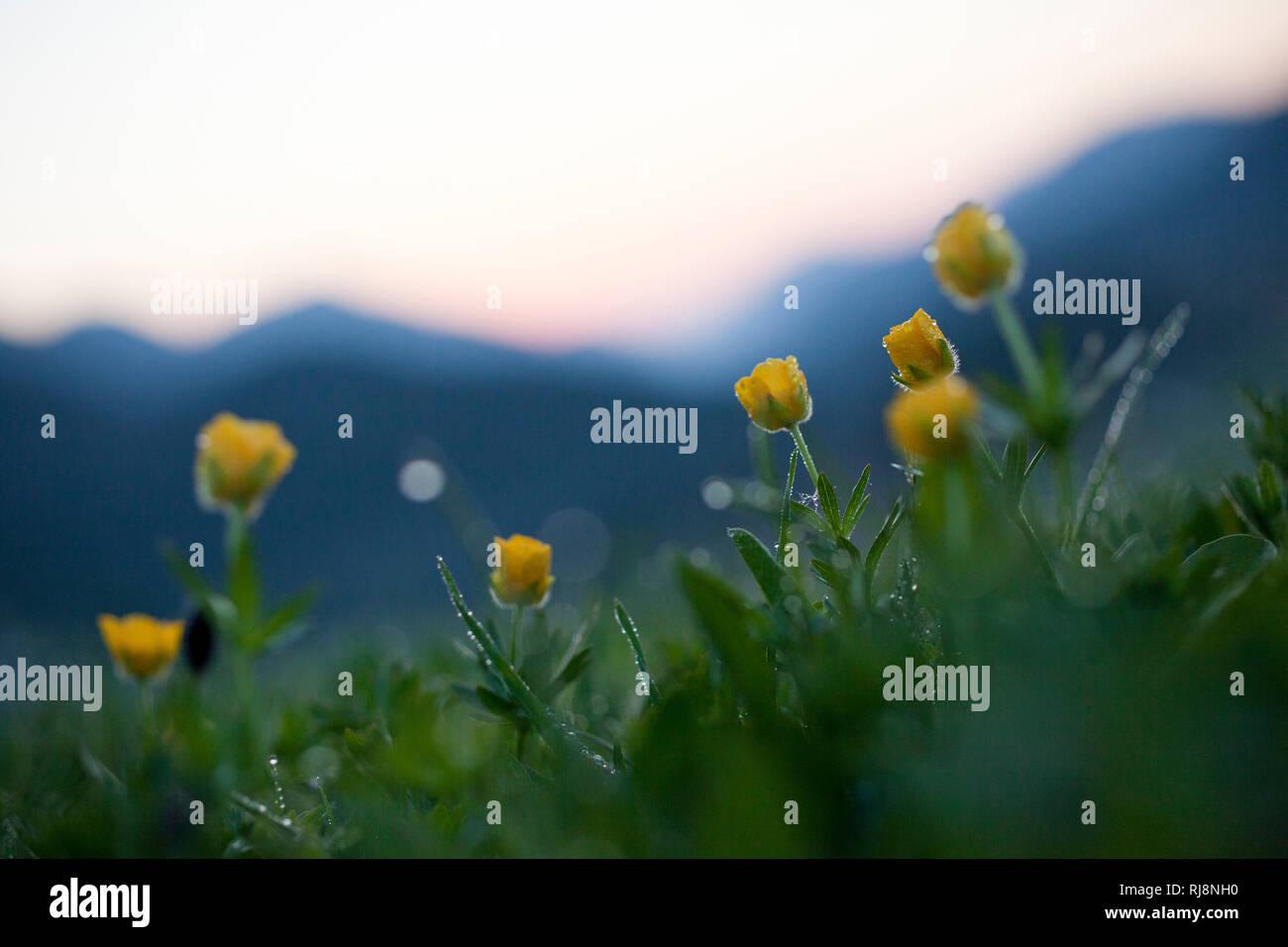 Blühender Hahnenfuss auf Bergwiese, bei Steinberg im Rofan, Rofan Gebirge, Tirol, Österreich Stock Photo
