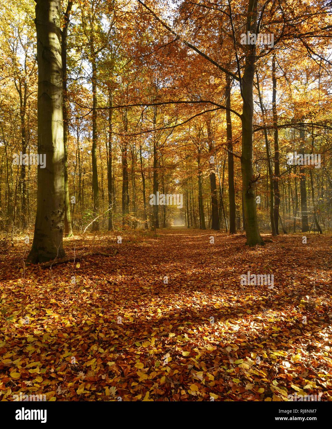 Laubwald im Herbst, Sonnenlicht, morgens, Ziegelrodaer Forst, Sachsen-Anhalt, Deutschland - Stock Image