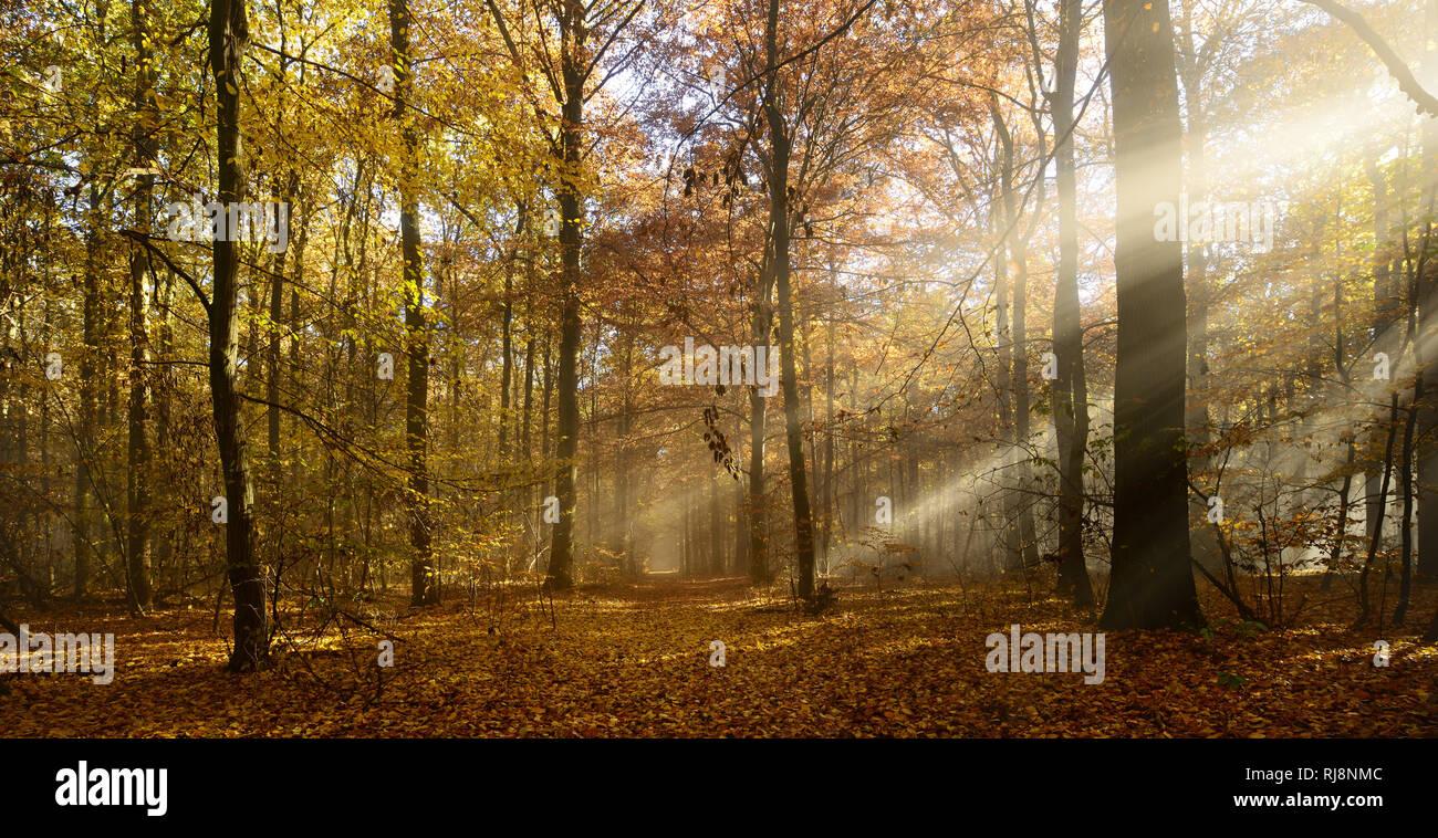 Sonnenstrahlen und Morgennebel, Laubwald im Herbst, Ziegelrodaer Forst, Sachsen-Anhalt, Deutschland - Stock Image