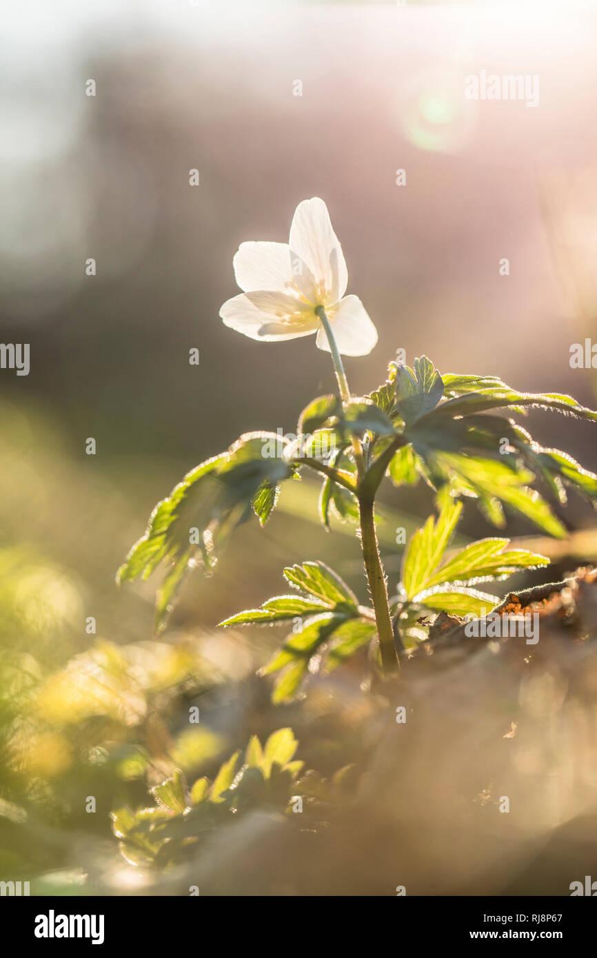 Buschwindröschen, Anemone nemorosa, einzelne Blüte - Stock Image