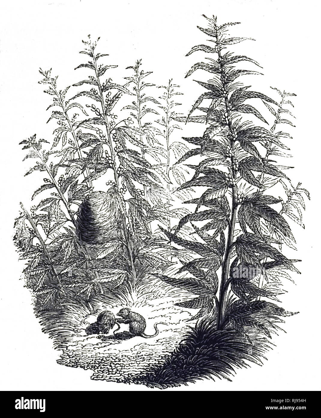 An engraving depicting hemp, a variety of the Cannabis sativa plant species that is grown specifically for the industrial uses of its derived products. Dated 19th century - Stock Image