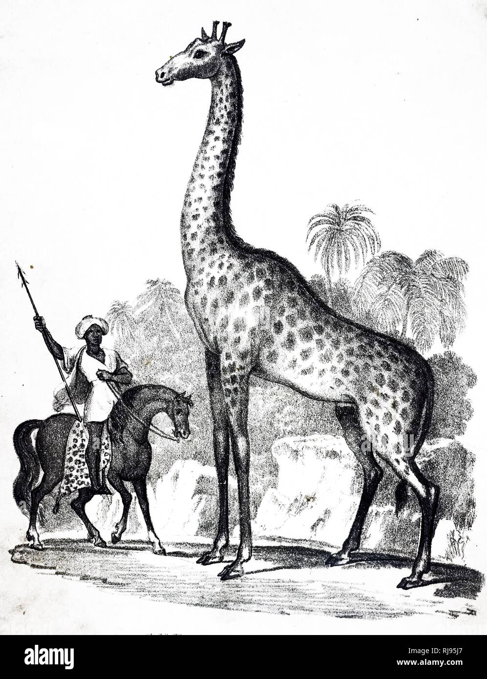 An engraving depicting a Giraffe, a genus of African even-toed ungulate mammals, the tallest living terrestrial animals and the largest ruminants. Dated 19th century - Stock Image