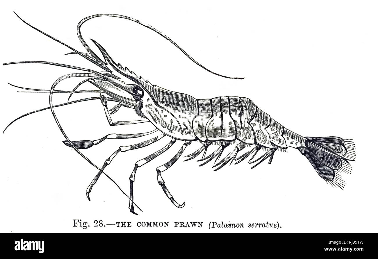 An engraving depicting a common prawn (Palaemon serratus) a species of shrimp found in the Atlantic Ocean. Dated 20th century - Stock Image