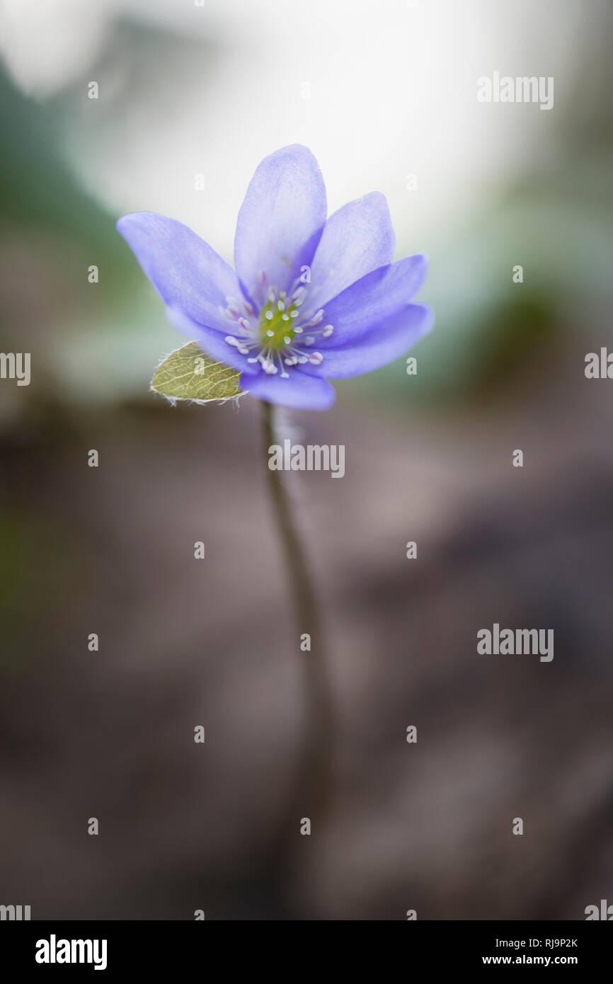 Leberblümchen, hepatica nobilis, einzelne Blüte - Stock Image