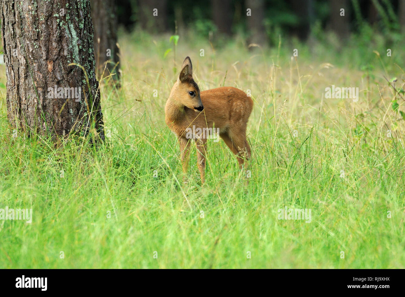 Reh im Wald Stock Photo