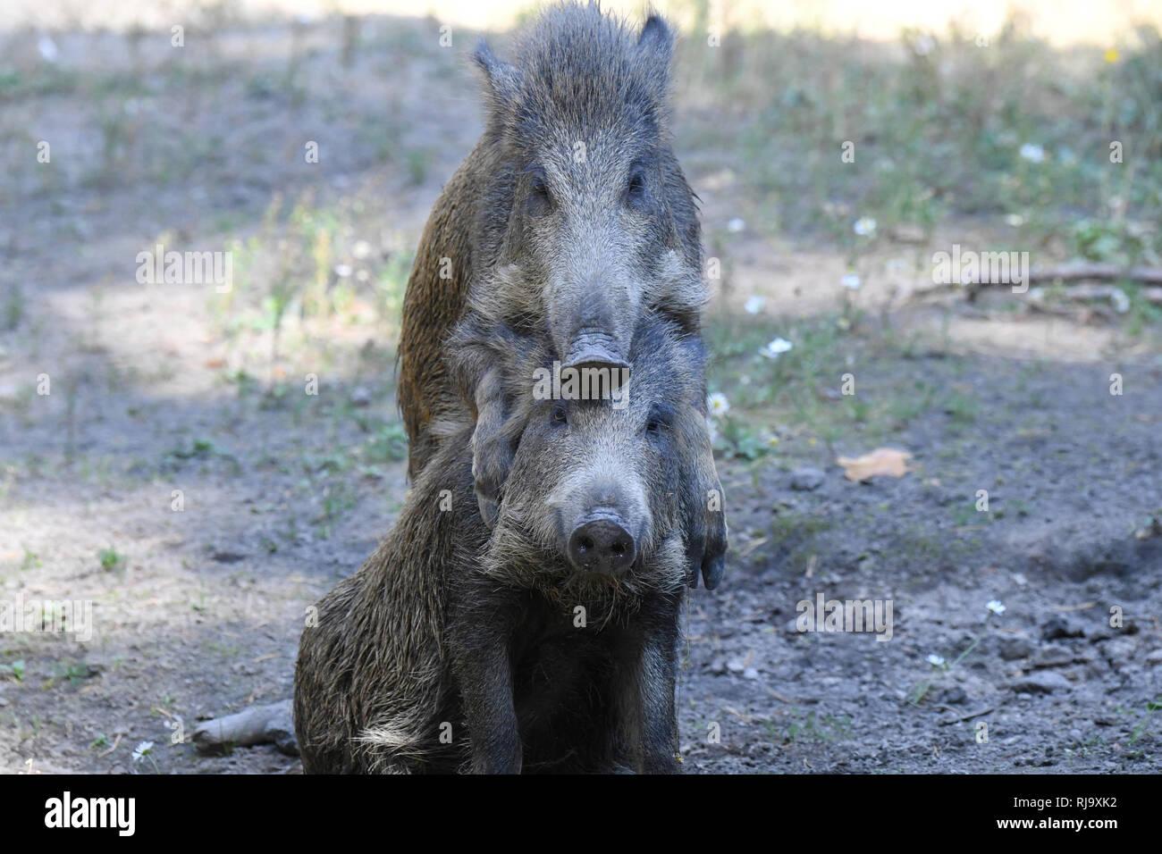 Wildschweine in der Suhle - Stock Image
