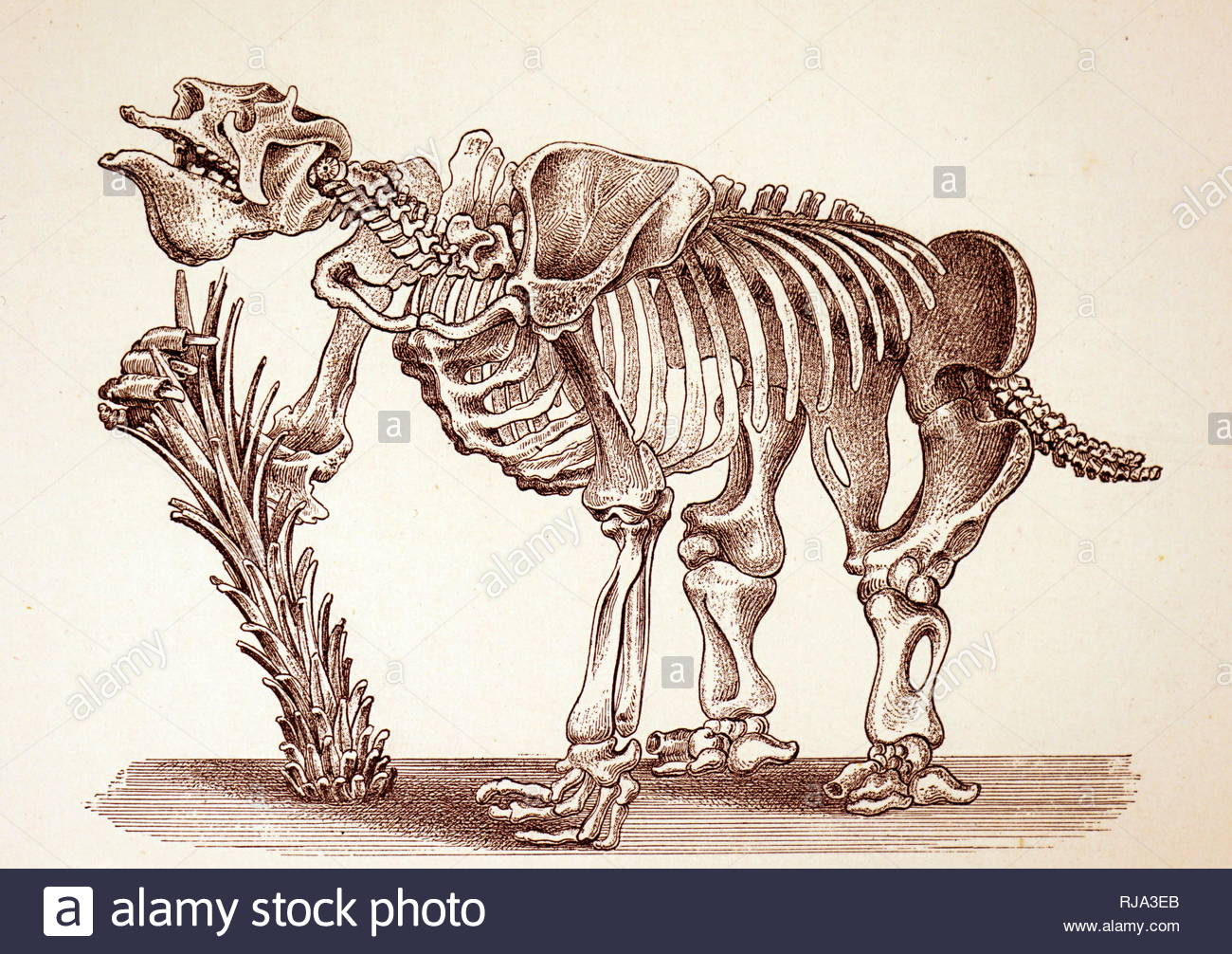 Engraving depicting the skeleton of a Megatherium (Grand ground sloth). Megatherium was a genus of elephant-sized ground sloths endemic to South America, sometimes called the giant ground sloth, that lived from the Early Pliocene through the end of the Pleistocene. Dated 19th century - Stock Image