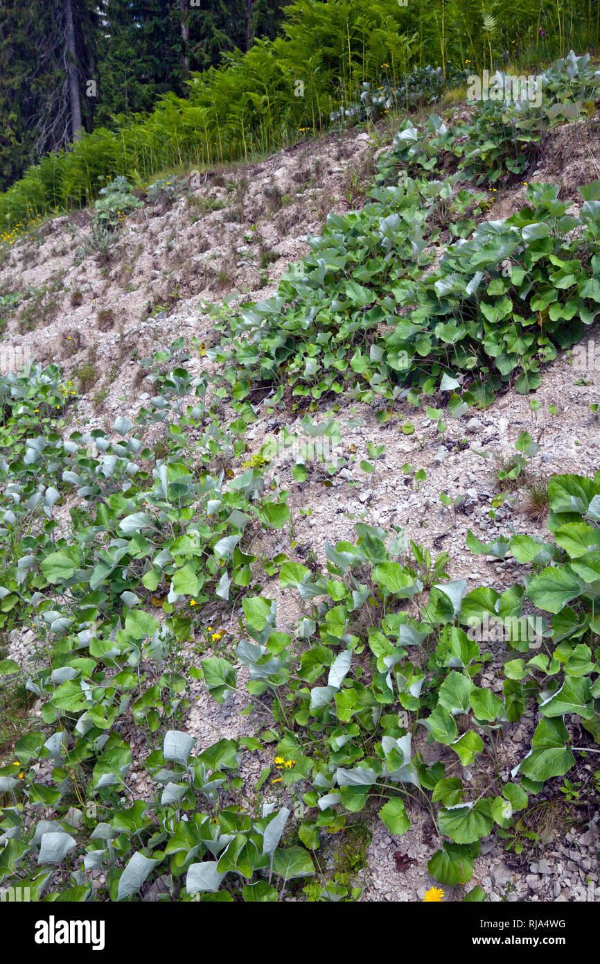 Huflattichblätter bedecken einen Schutthang am Waldrand - Stock Image