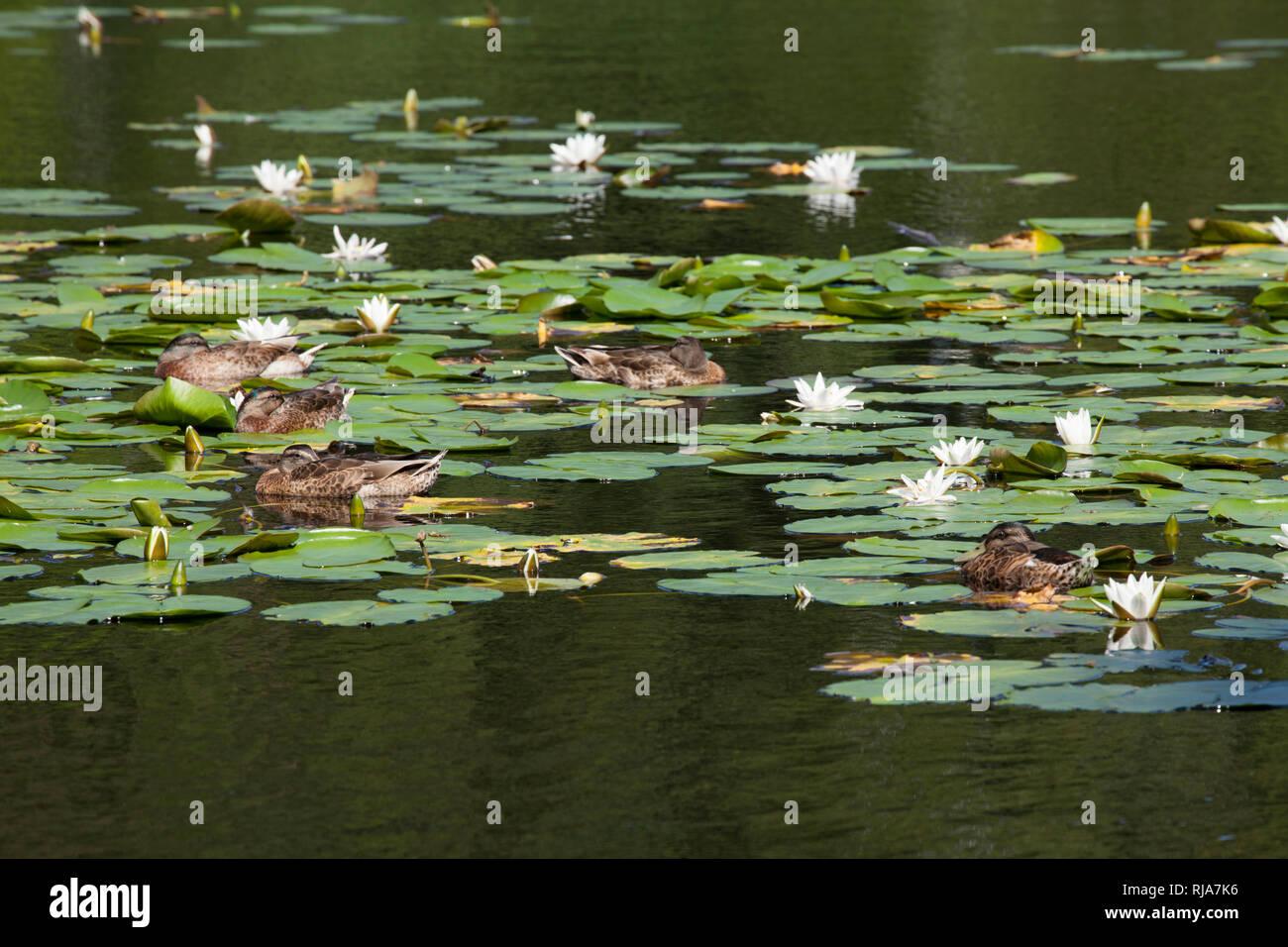 Seerosen im Finkenmoorteich, Wernerwald, Cuxhaven-Sahlenburg, Nordseeheilbad Cuxhaven, Niedersachsen, Deutschland, Europa Stock Photo