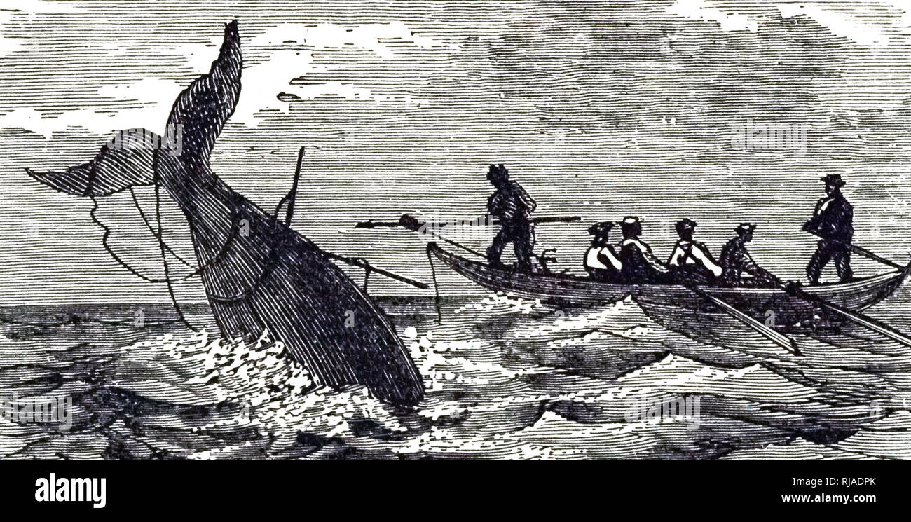 An engraving depicting a harpooned whale 'sounding'. Dated 19th century - Stock Image
