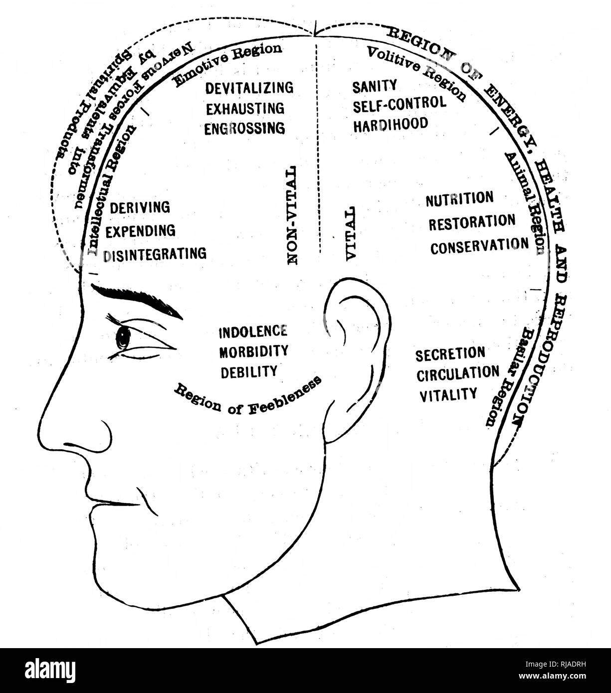 An engraving depicting a diagram showing the supposed functions of various areas of the brain. Dated 19th century - Stock Image