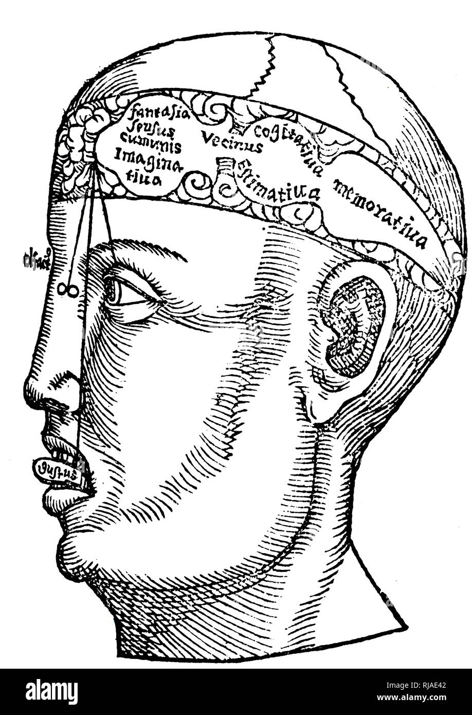 Illustration depicting a Renaissance anatomical drawing (16th century; German. From Margarita Philosophica; 1503 by Reisch. Shows the ventricles and their relationship to the intellect. Gregor Reisch (born at Balingen in Württemberg, about 1467; died at Freiburg, Baden, 9 May 1525) was a German Carthusian humanist writer. He is best known for his compilation Margarita Philosophica - Stock Image