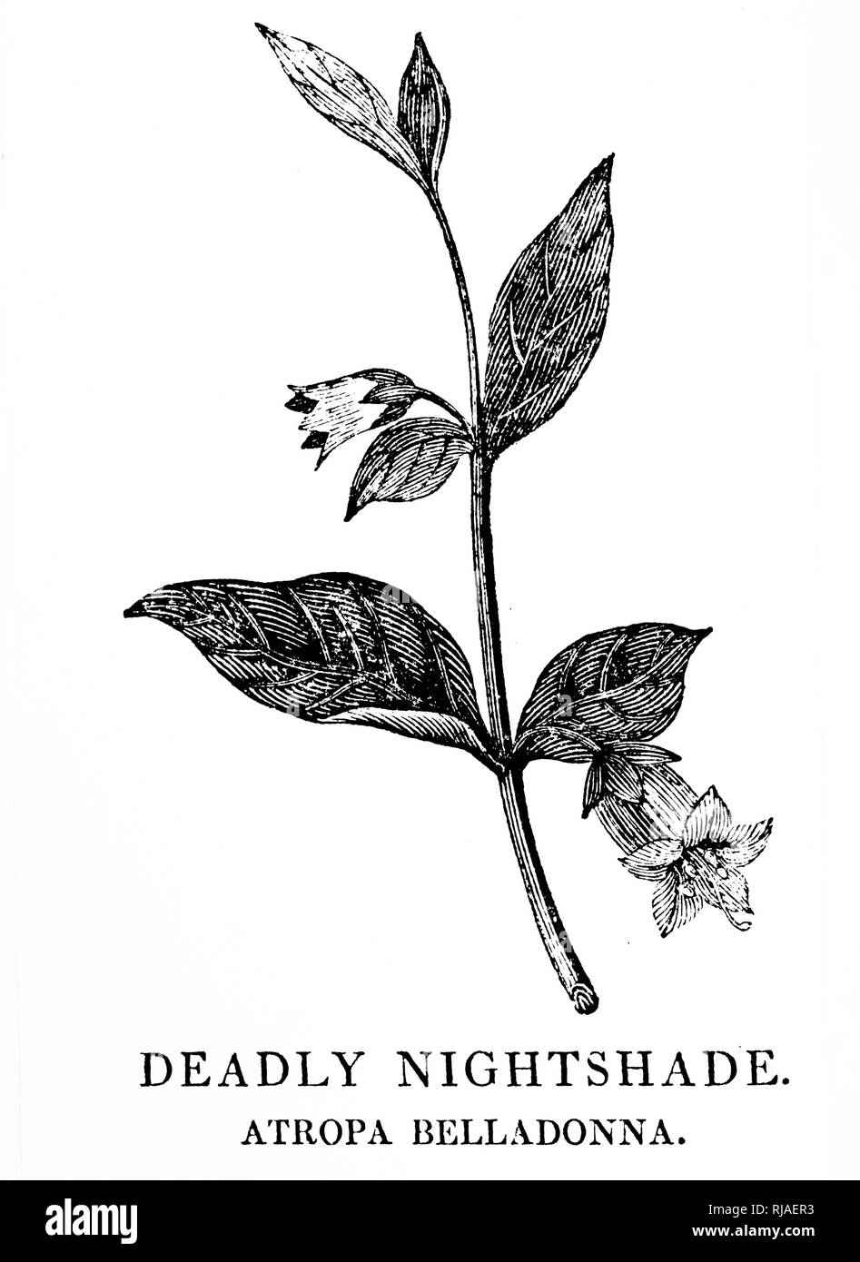 A woodblock engraving depicting a sprig of Belladonna, a perennial herbaceous plant in the nightshade family Solanaceae, which includes tomatoes, potatoes, and aubergine. Woodcut by Thomas Bewick (1753-1828) an English engraver and natural history author. Dated 18th century - Stock Image