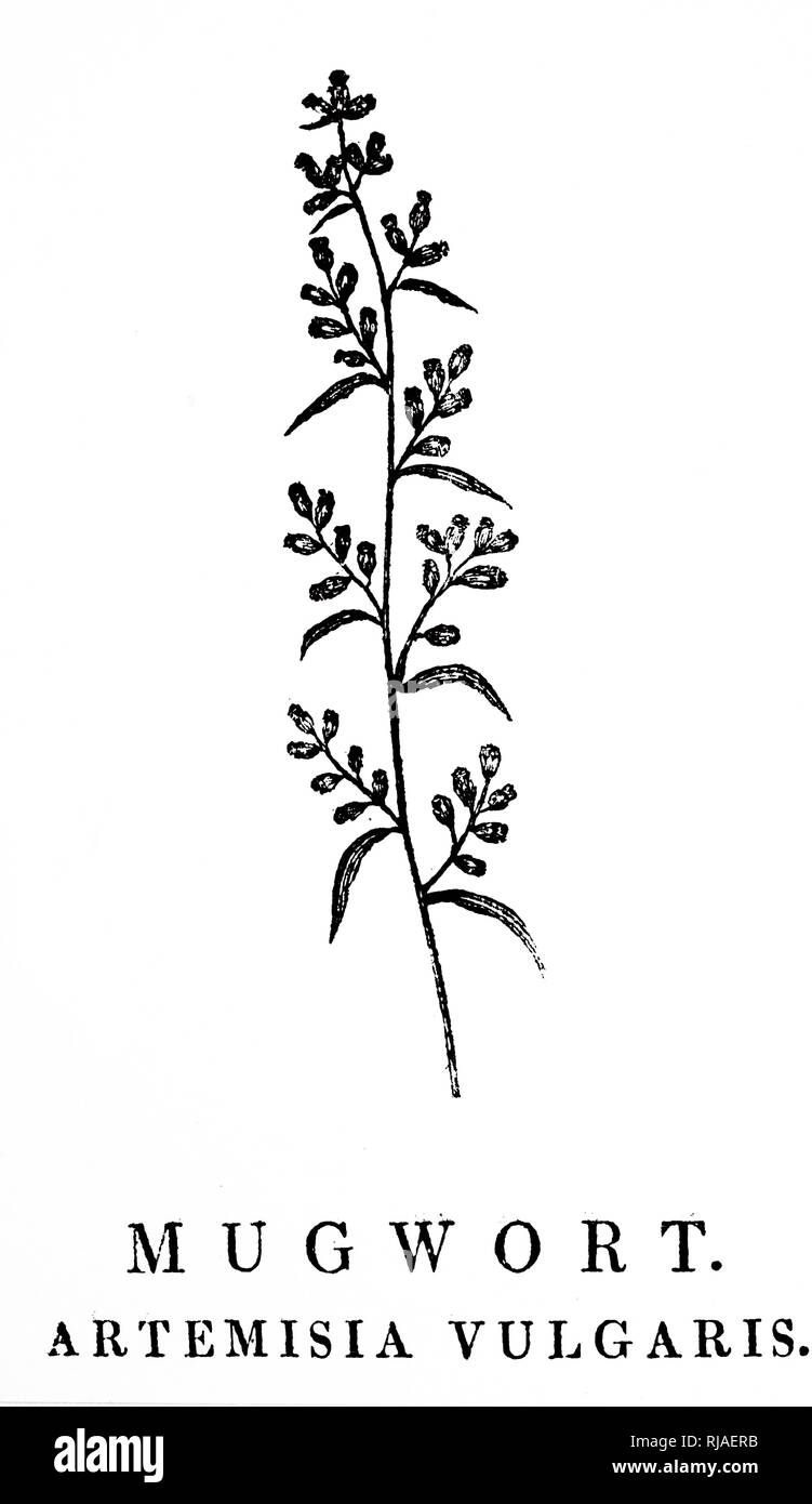 A woodblock engraving depicting a sprig of Mugwort, a species of aromatic plants in the genus Artemisia. Woodcut by Thomas Bewick (1753-1828) an English engraver and natural history author. Dated 18th century - Stock Image