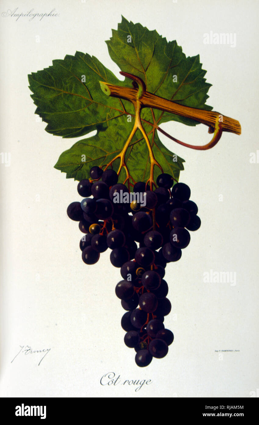 painted illustration of grapes from a viniculture manual (French), 1905 - Stock Image