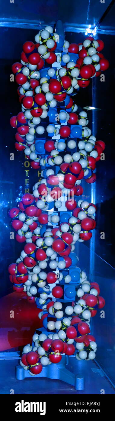 Model of the DNA Double Helix. 2017. In molecular biology, the term double helix refers to the structure formed by double-stranded molecules of nucleic acids such as DNA. The double helical structure of a nucleic acid complex arises as a consequence of its secondary structure, and is a fundamental component in determining its tertiary structure. The term entered popular culture with the publication in 1968 of The Double Helix: A Personal Account of the Discovery of the Structure of DNA, by James Watson. - Stock Image