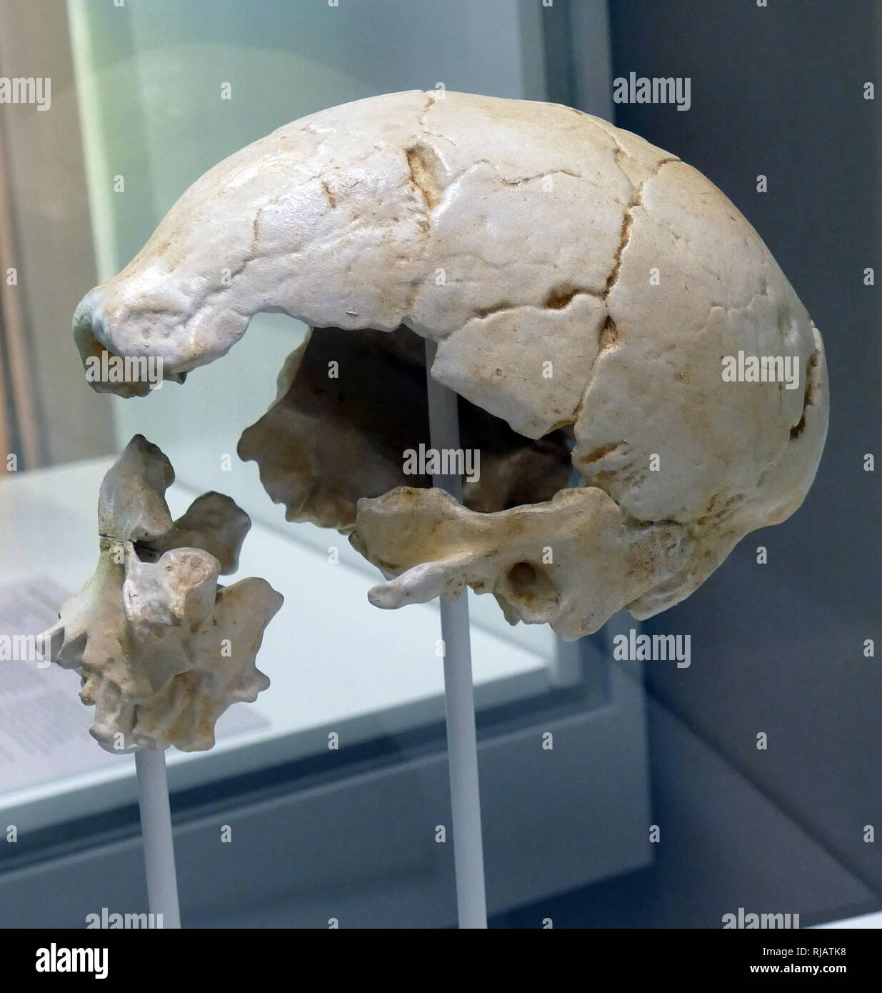 In 1976, a fossil hominid skull was recovered from the Ngaloba Beds at Laetoli, Northern Tanzania; The discovery of this skull is of great interest and importance because of its very substantial presumed antiquity and its largely anatomically modern morphology. The discovery has considerable implications for the antiquity and origin of modern Homo sapiens, a subject of longstanding interest and one which has gained renewed attention recently. - Stock Image