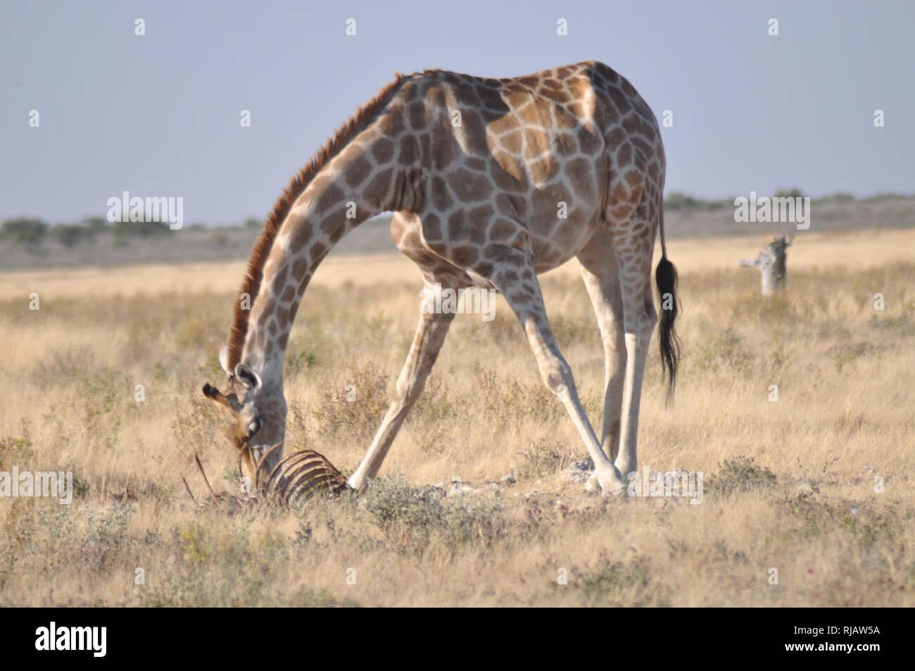 Namibia: Girafs near Namutomi Camp in Etosha national park. The Etosha NAtionalpark is one of the world oldest. - Stock Image