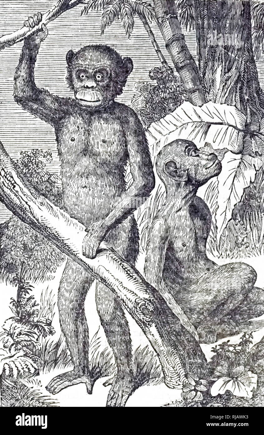 An engraving depicting a chimpanzee. Together with humans, gorillas, and orangutans, they are part of the family Hominidae. Dated 19th century - Stock Image