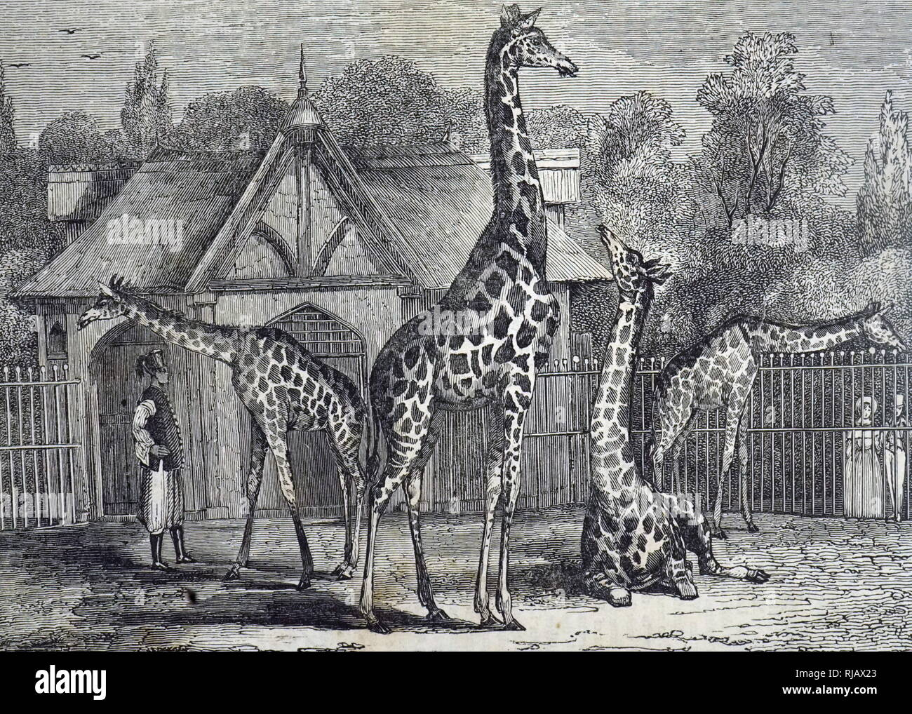 An engraving depicting the four giraffes of the Royal Zoological Society's Gardens, Regent's Park, London. Dated 19th century Stock Photo