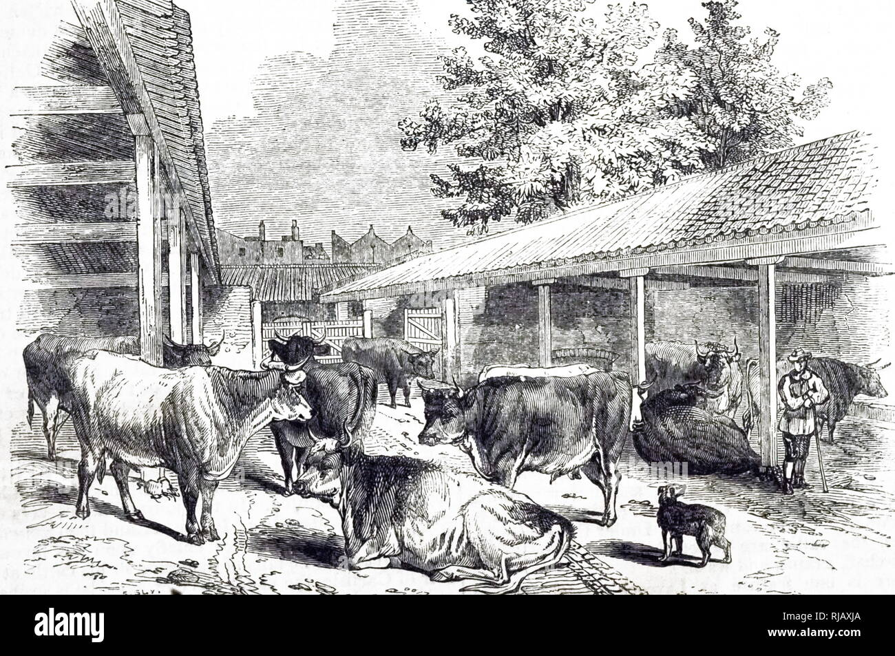 An engraving depicting a cattle layer at Highbury, North London. Cattle drovers would bring cattle from Galloway, Norfolk and Suffolk where they were fattened. Some were sent to Smithfield for sale, and these were housed in cattle layers for a few nights until sale day arrived. Dated 19th century - Stock Image