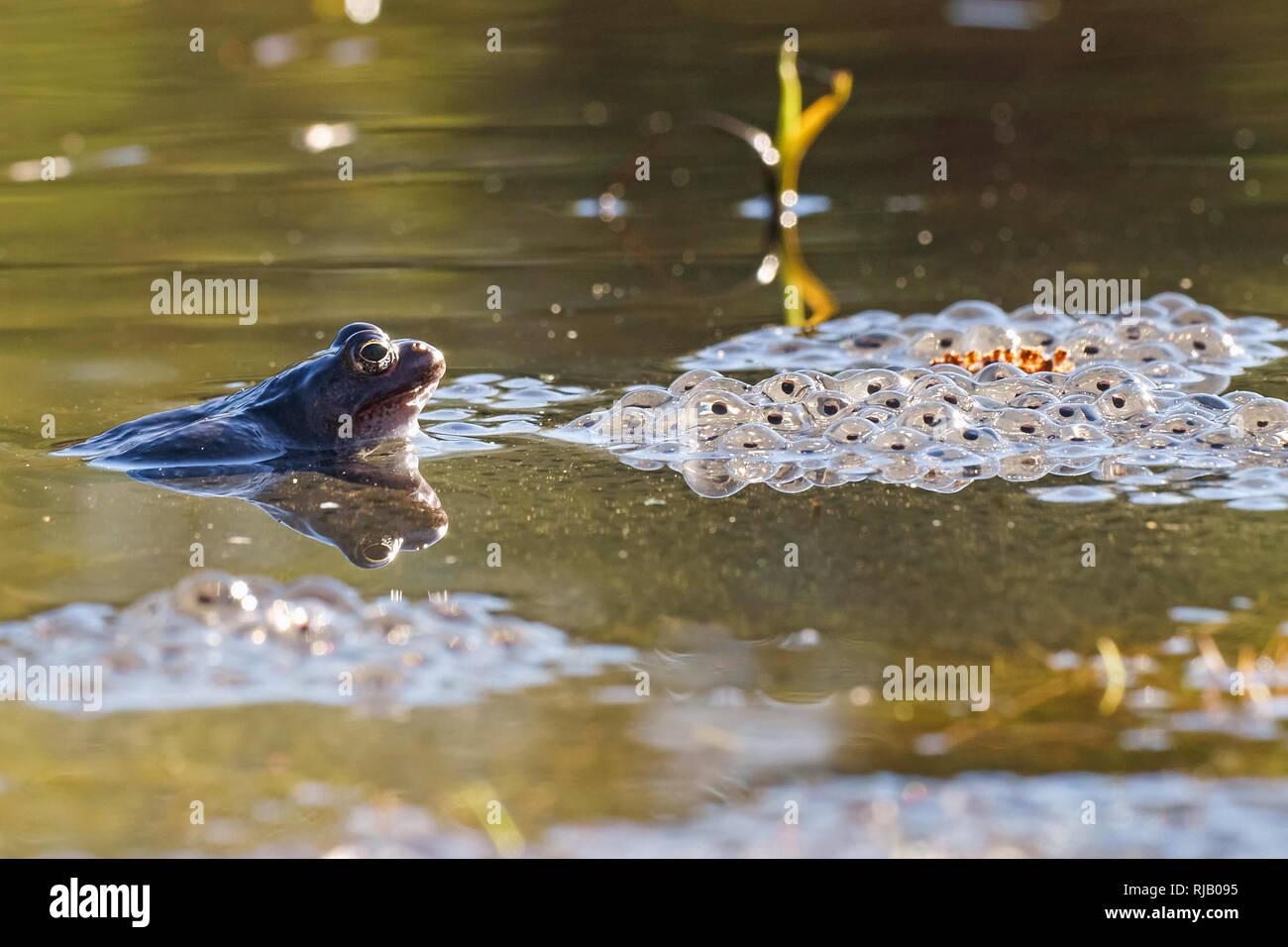 Frog spawning time - Stock Image
