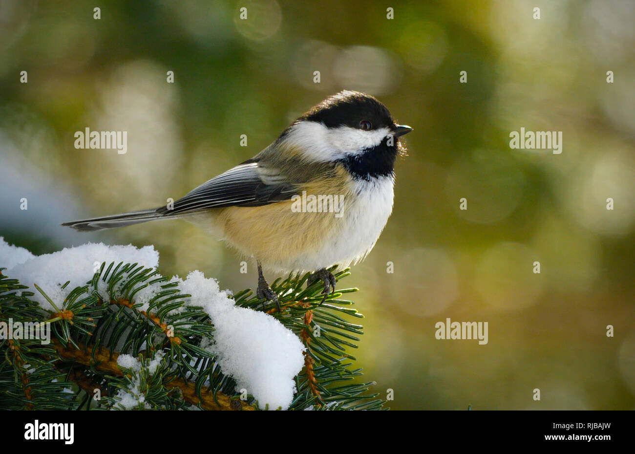 A side view of a wild Black-capped chickadee  'Parus gambeli', perched on a spruce tree branch in rural Alberta Canada. - Stock Image