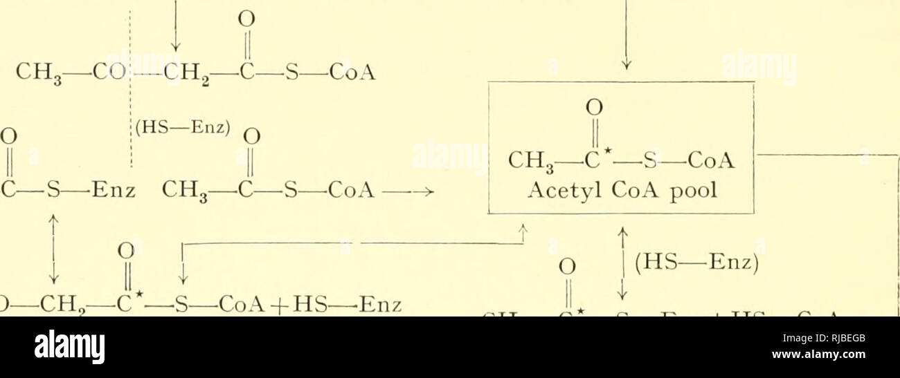 . Cell chemistry; a collection of papers dedicated to Otto Warburg on the occasion of his 70th birthday. Warburg, Otto Heinrich, 1883-; Biochemistry. 3o8 F. LYNEN, S. OCHOA VOL. 12 (1953) non-labelled acetoacetyl-S-CoA from the last four carbons of the fatty acid chain reacts with thiolase to give non-labelled acetyl-S-enzyme and this in turn reacts with labelled O acetyl-S-CoA from the pool to yield CH3—CO—CH,—C*—S—CoA. This is shown schemat- ically in Fig. 8 for the case of caproic acid. O CH,—CH,—CH.,—CO- O CHj—'CHo—CHg—'C- O -CHj—C —S—CoA (HS—Enz) O -S—Enz CH3—C —S—CoA (HS—CoA) CH3—CH,—CH. Stock Photo