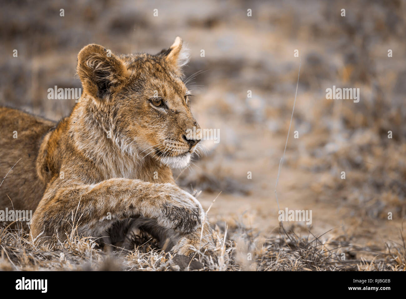 African lion in Kruger National park, South Africa ; Specie Panthera leo family of Felidae Stock Photo