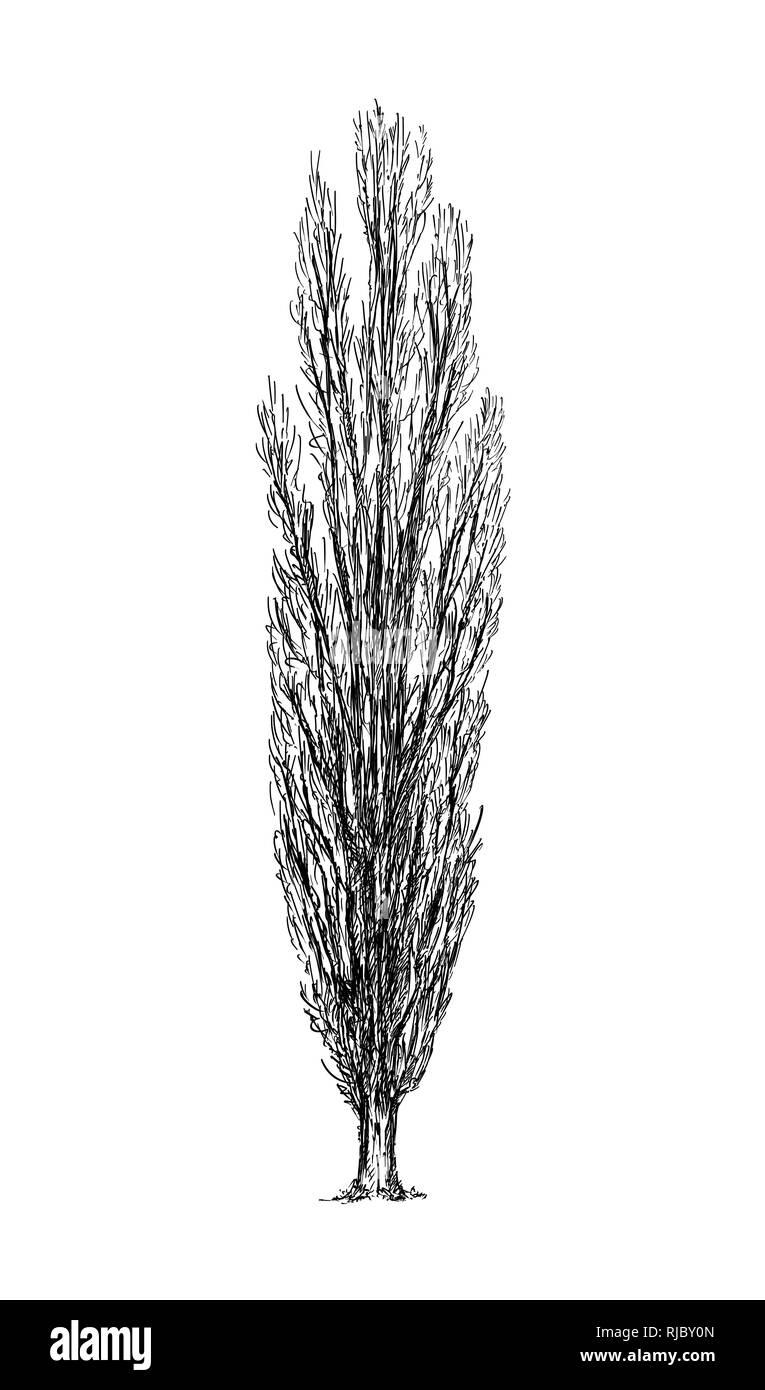 Diagram Of Poplar Tree   Fusebox and Wiring Diagram series toast ...