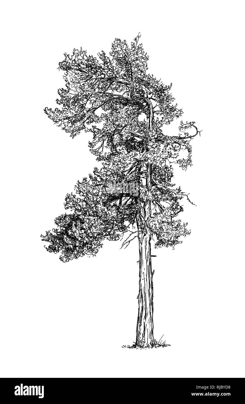Cartoon Drawing of Pine Conifer Tree - Stock Image