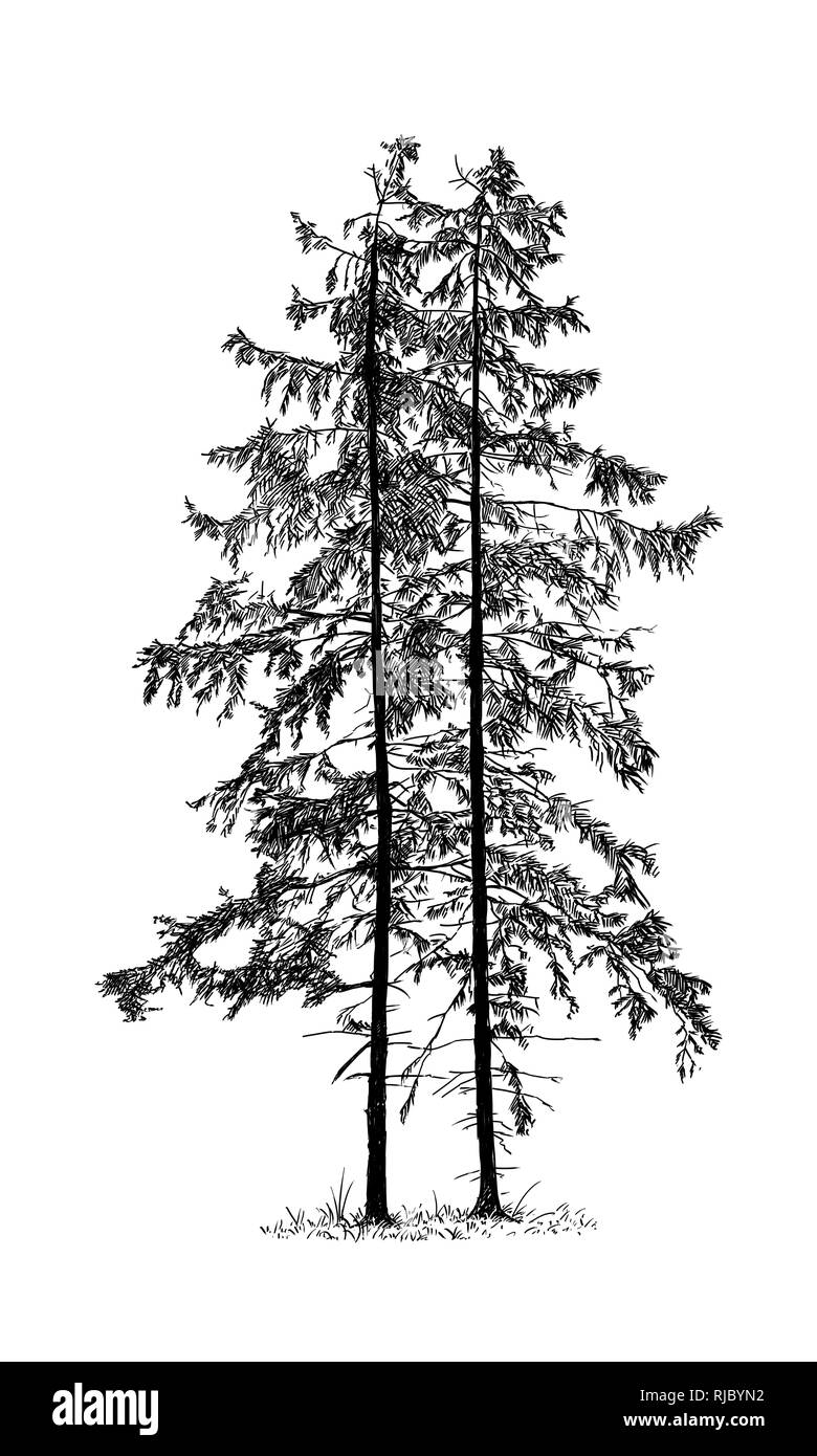 Cartoon Drawing of Spruce Conifer Tree - Stock Image