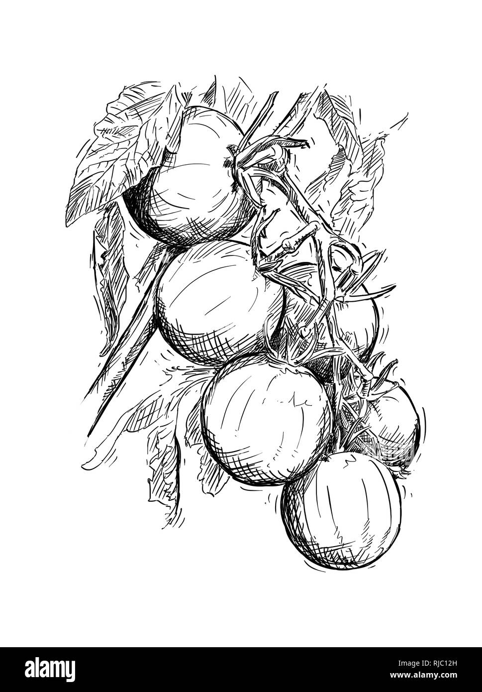 Hand Drawing of Ripe Tomatoes Growing on Branch - Stock Image
