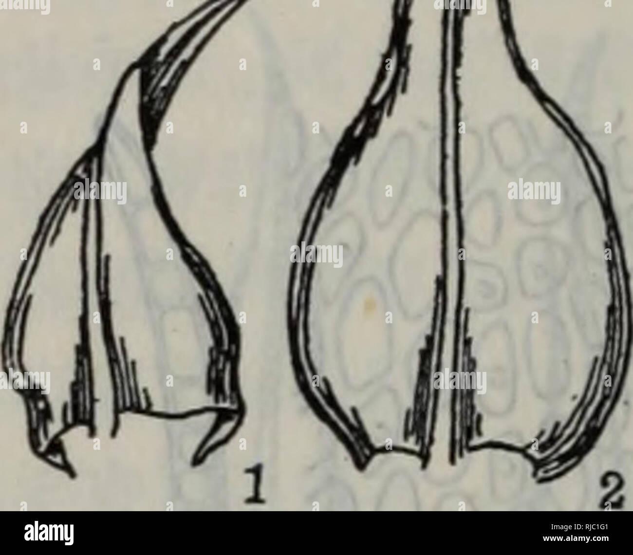 . chang jiang san jiao zhou ji lin jin di qu bao zi zhi wu zhi é¿æ±ä¸è§æ´²åé»è¿å°åºå-¢å-æ¤ç©å¿. botany. é¿0.4ã0.6mm,å¶å¹³å±ï¼ä¸-èç»å¼±ãééå¼æ ªï¼æ±è´é¿U5ã2.5mmãç¯å¸¦ä¸¤æç»èãè´ é½¿ä¸é¢å¹³æ»ï¼å è´é½¿ä¸-èä¸è§åæéåãå-¢å-ç´å¾13ã17 tim,å ·ç»åºã 产äºæ±èèå·ã常çèå±±ãçäºæ å¹²ä¸æ岩é¢ã åå¸äºä¸åå西åï¼æ¥æ¬ãäºæ´²ä¸-é¨ãèèå欧洲ã å¤æ¯èå±Lescuraea B. S. G. æ¬å±çº¦4ç§ï¼æå½å·²ç¥3ç§ï¼æ¬å°åºç°æ1ç§ã . 129.弯å¶å¤æ¯èï¼åèï¼ï¼å¾17â92) Lescuraea incurvata (Hedw.) Lawt. å¾17 â92 弯å¶å¤æ¯èLescuraea incurvata 1.èå¶ï¼X35) 2.å¶ä¸-é¨ç»èï¼X 385) 3.æ± è ï¼X15) å¾F â93 æèèPseudoleskeopsis zippelii 1.èå¶ï¼X23) 2.æå¶ï¼X23) 3.å - Stock Image