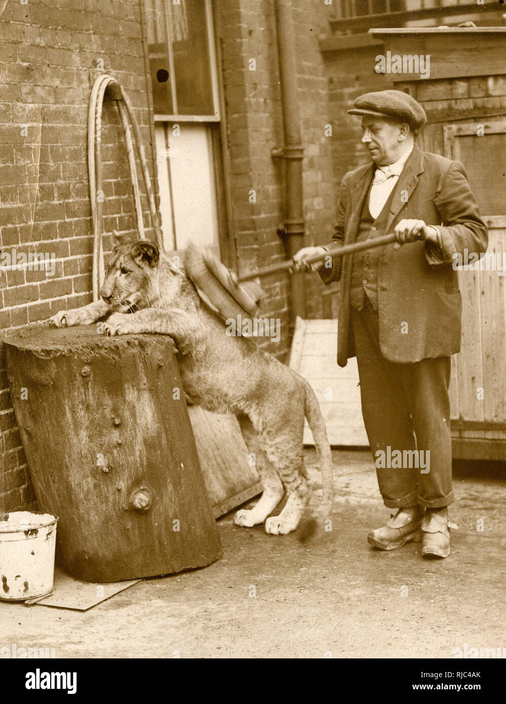 Mary Pickford the young lion cub (!) has her morning wash and brush-down from her keeper - London Zoological Gardens, Regents Park, London. Stock Photo