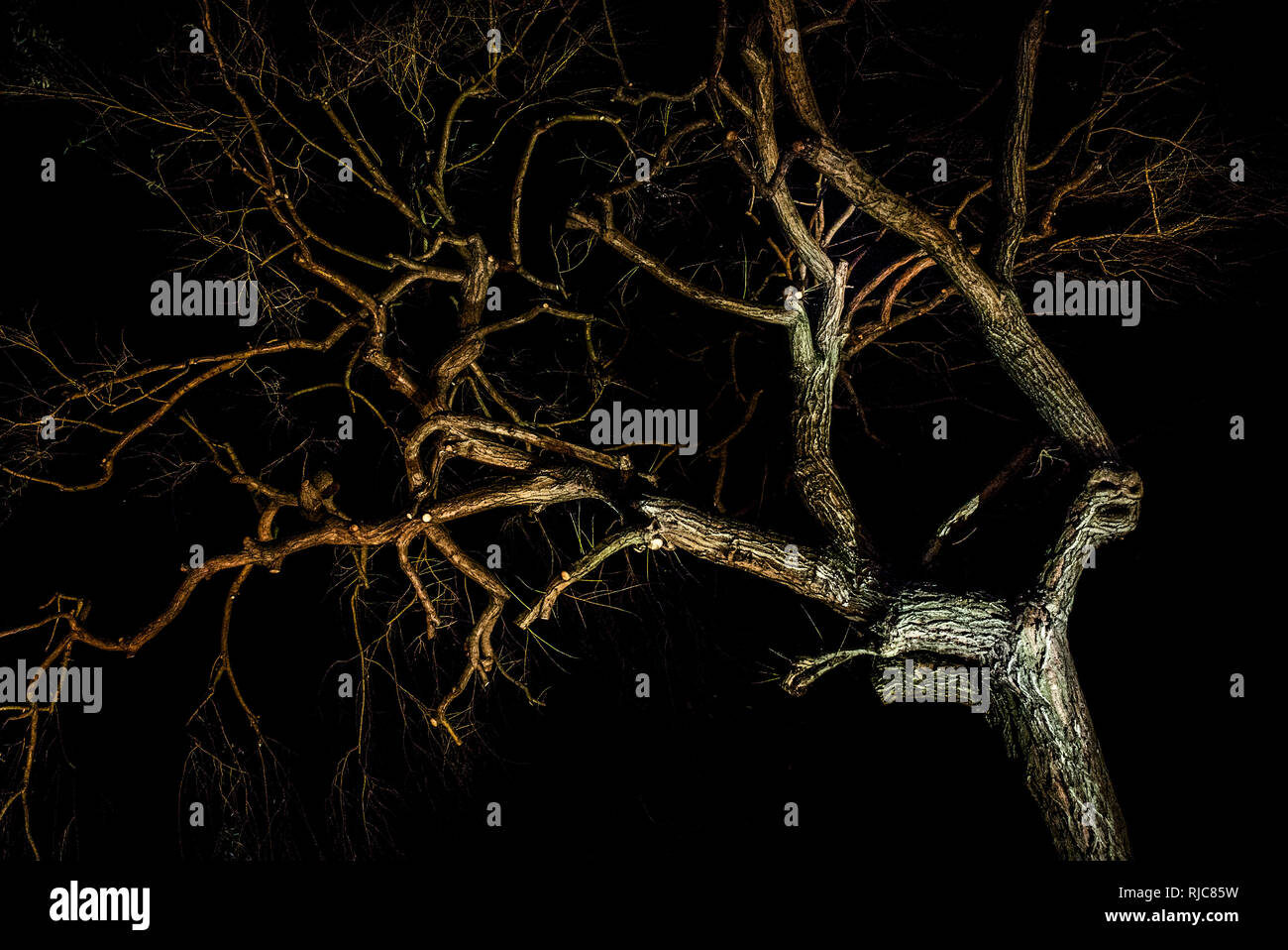 tree illuminated from below night shot - Stock Image