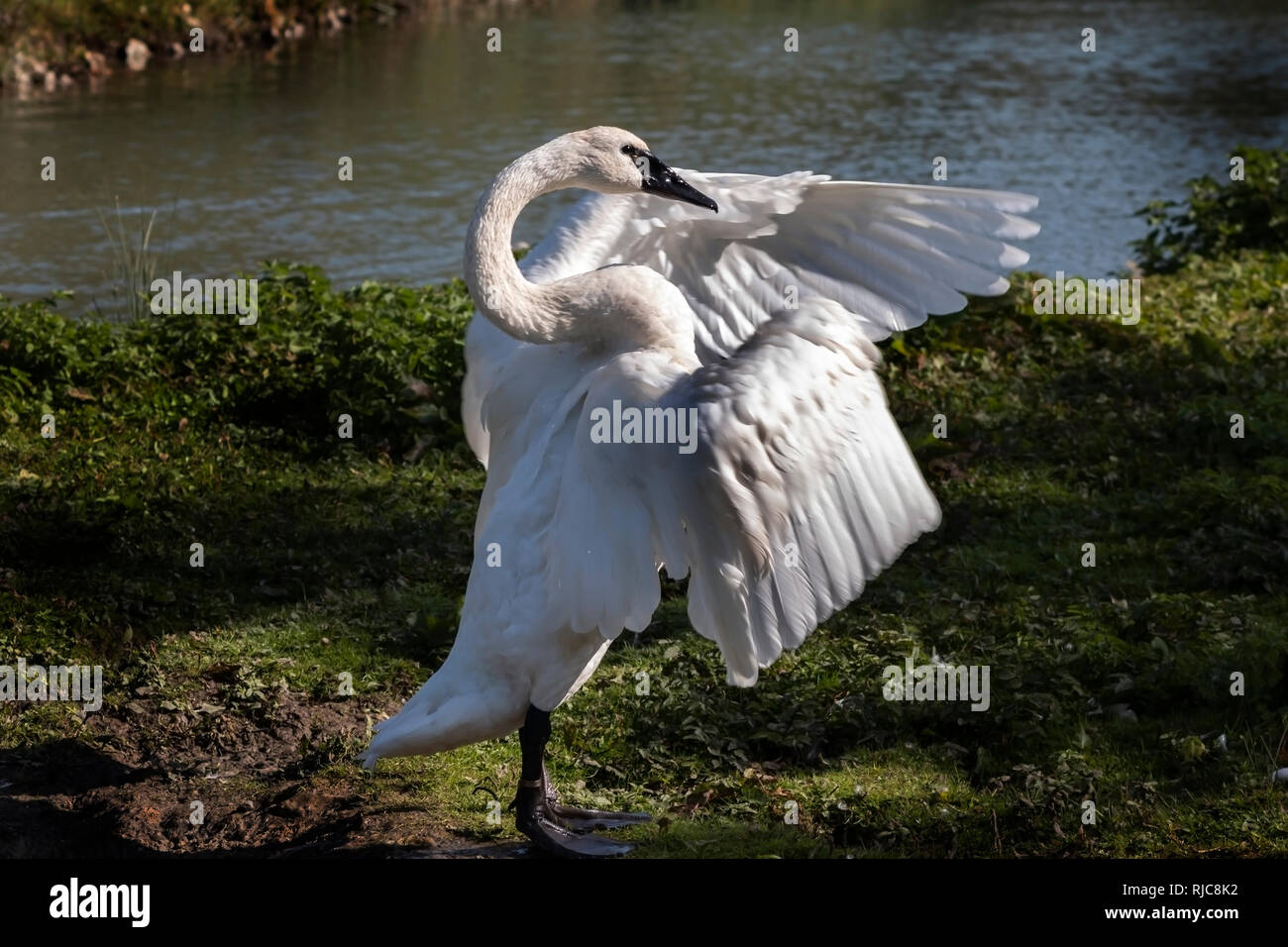 Trumpeter swan looking as though it is pointing with one of its wings - Stock Image