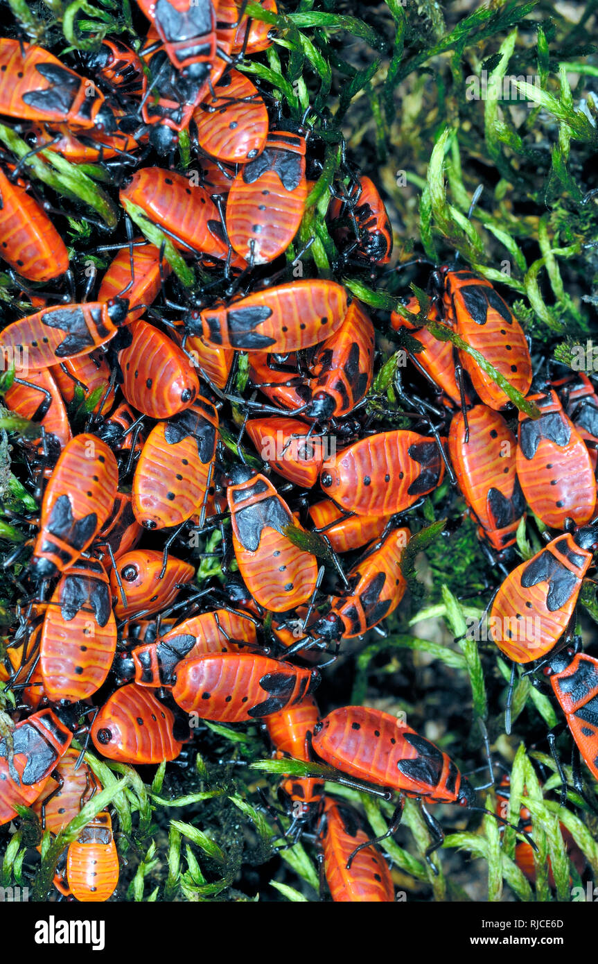 Aggregation or Mass of Fire Bugs or Firebugs, Pyrrhocoris apterus, on Trunk of a Lime Tree - Stock Image