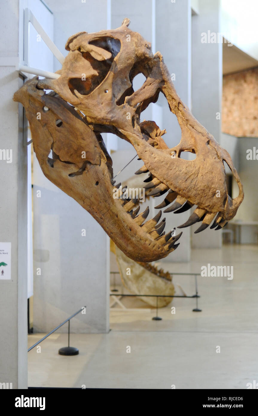 Exhibition of Tyrannosaurus Rex Skull on Display at the Gorges du Verdon Museum of Prehistory Quinson Provence France - Stock Image