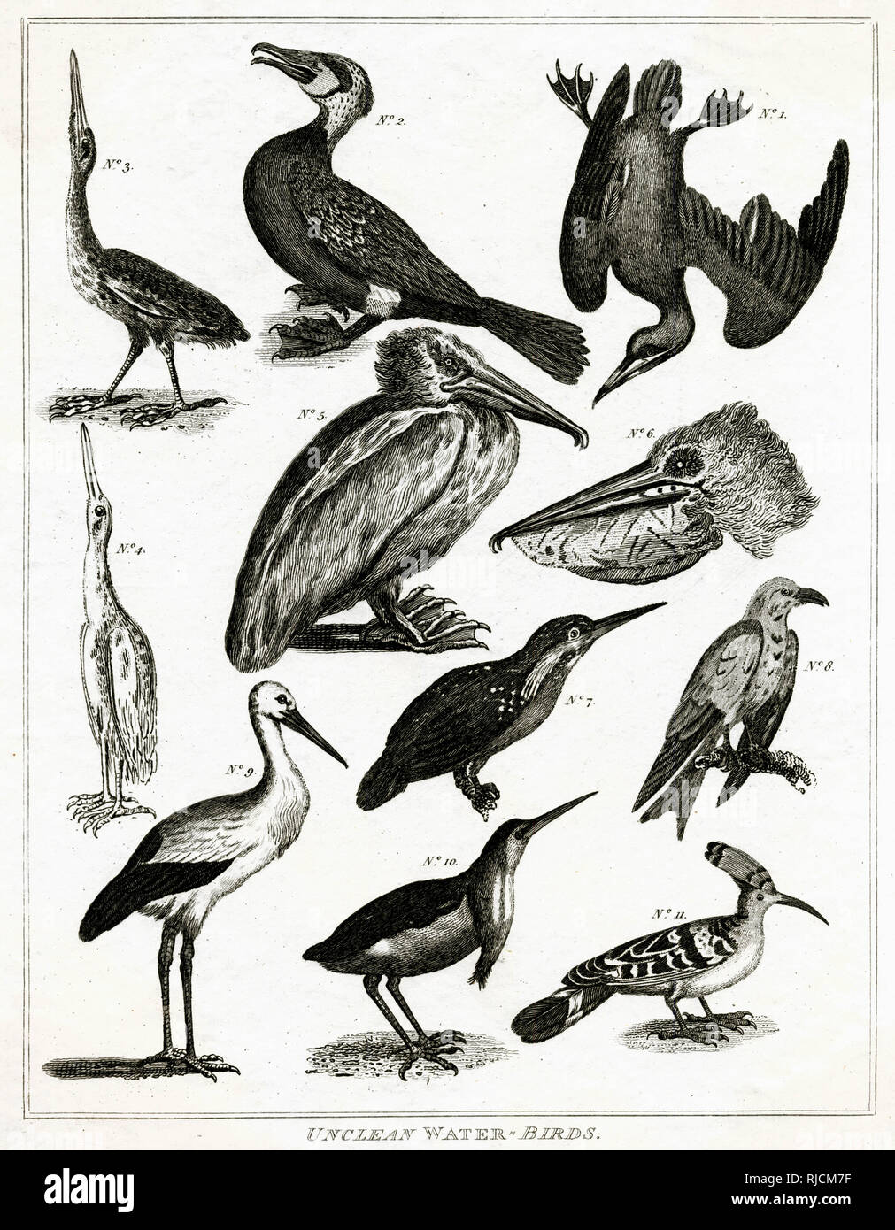 Engraving of  'unclean' or non - kosher water birds. In Judaism, the concept of 'impure' or 'unclean' animals, plays a prominent role in Jewish law that specifies which foods are allowed (kosher) and which are forbidden to eat. - Stock Image