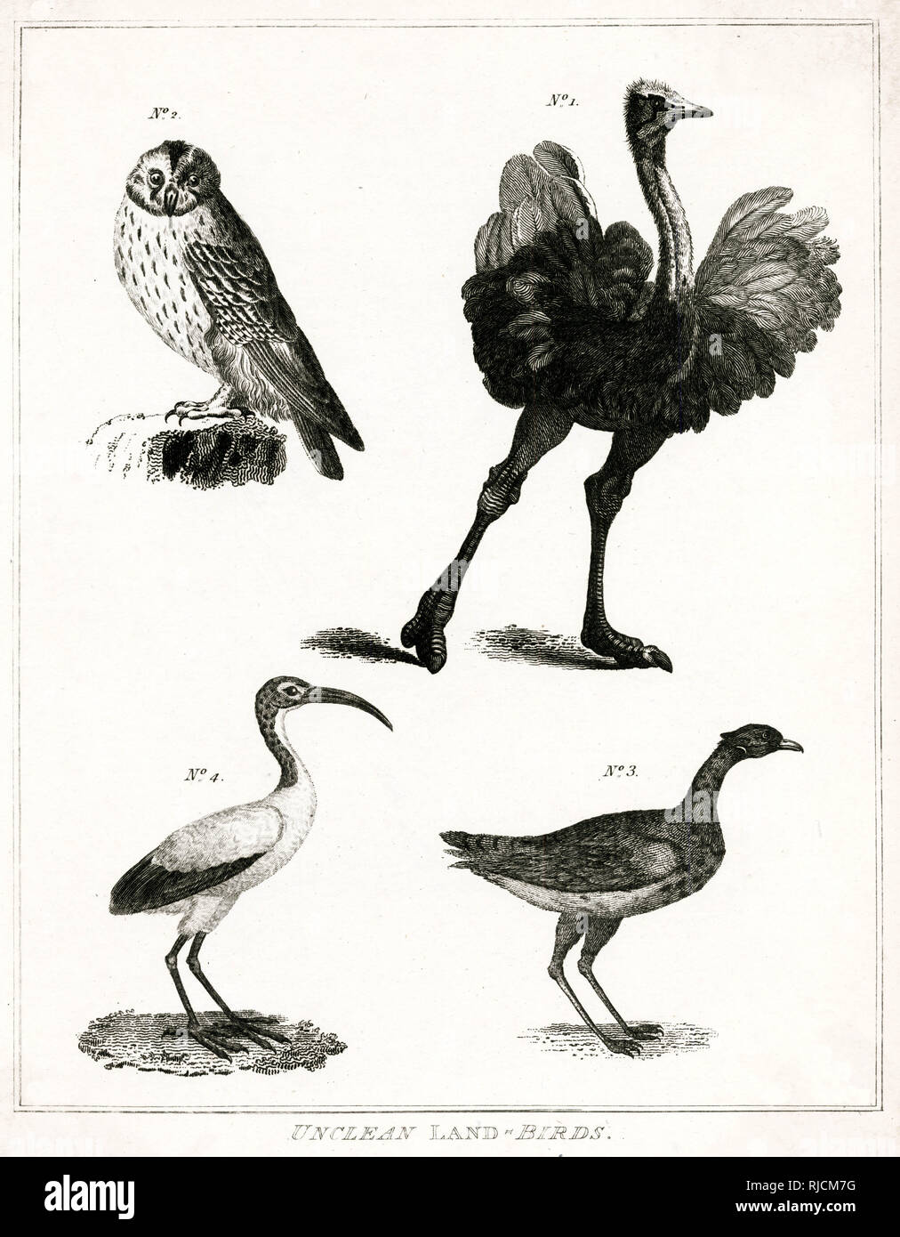 Engraving of unclean (non - kosher) land birds. The concept of 'impure' or 'unclean' animals, plays a prominent role in Jewish law that specifies which foods are allowed (kosher) and which are not allowed to be eaten. - Stock Image