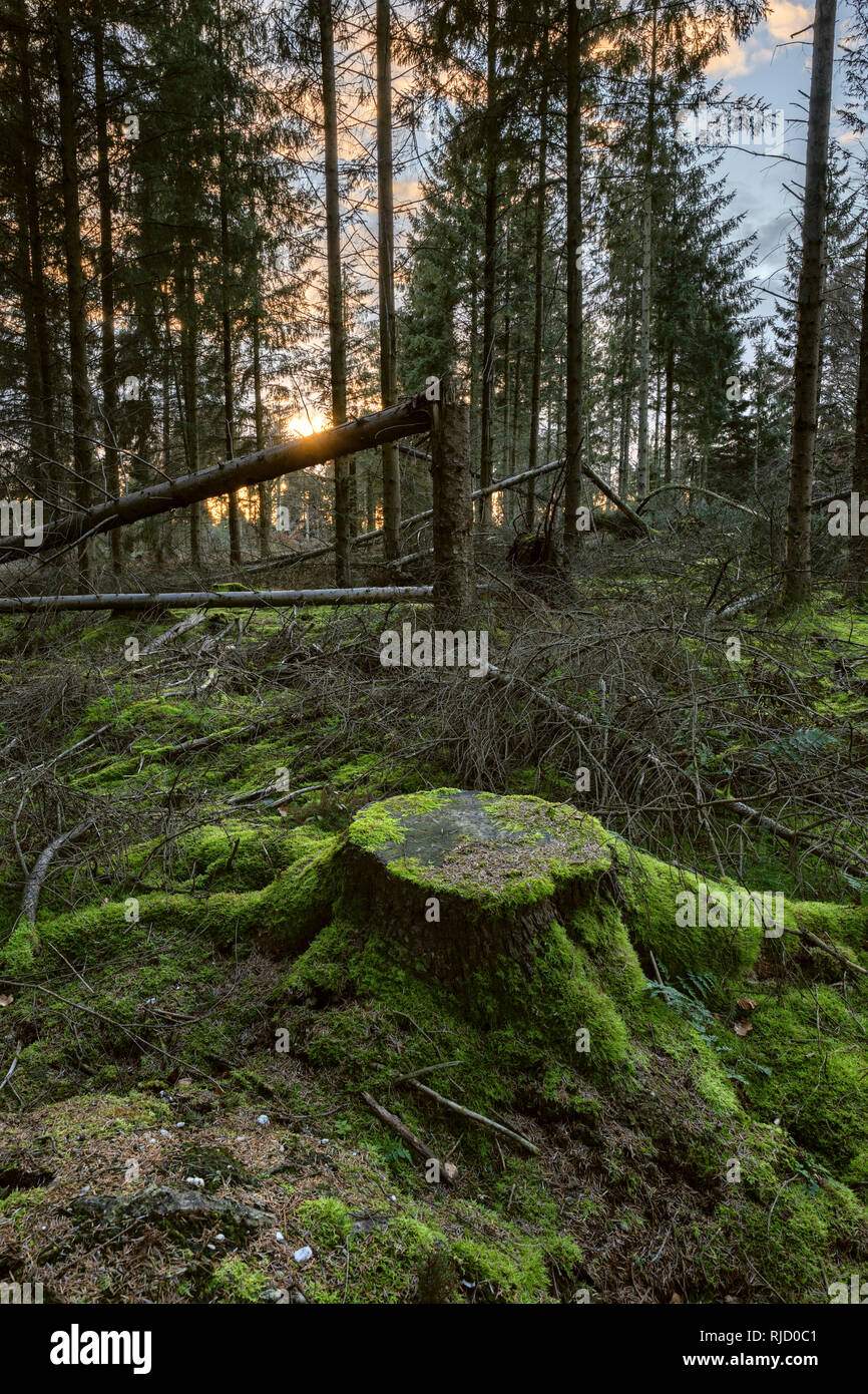 Exposed conifer trees felled by wind after selective deforestation. - Stock Image